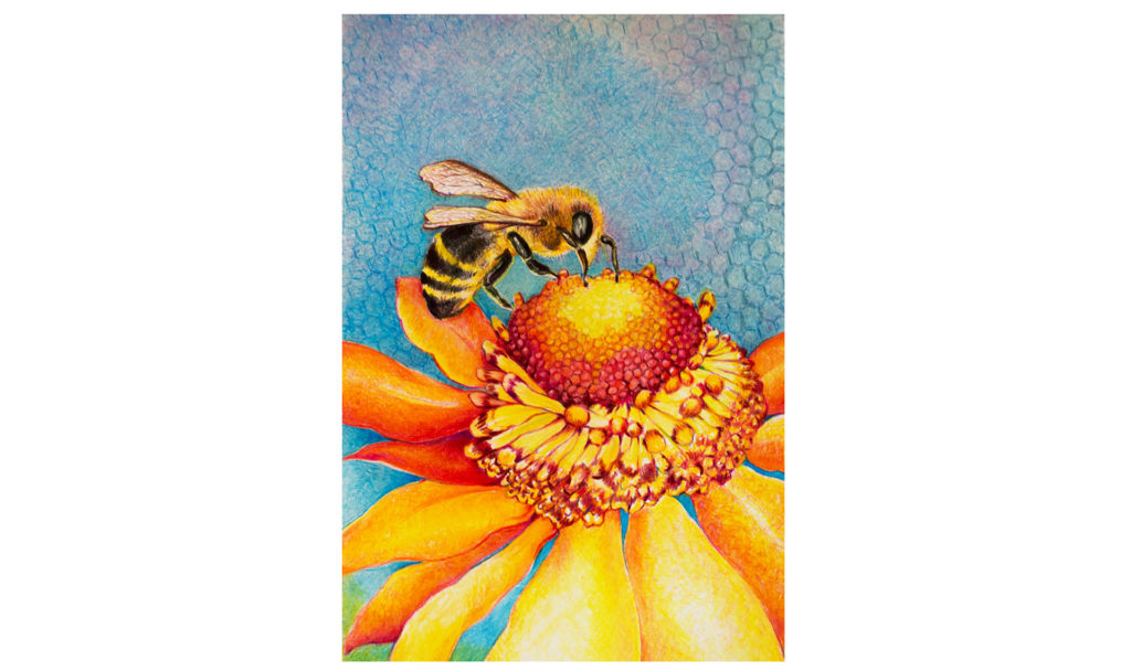 Colored pencil drawing of a honey bee gathering nectar on a flower