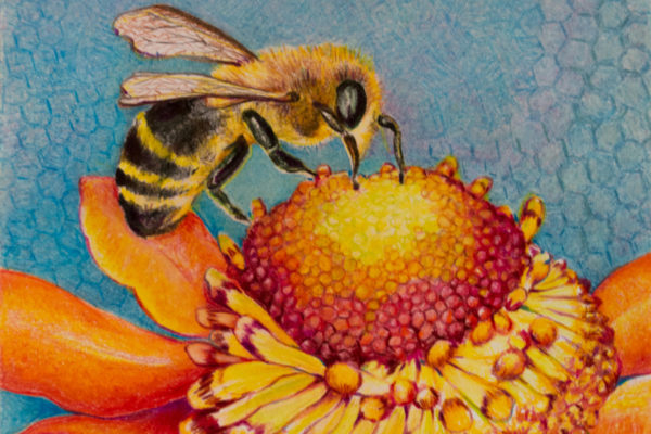 colored pencil drawing of a honey bee gathering nectar