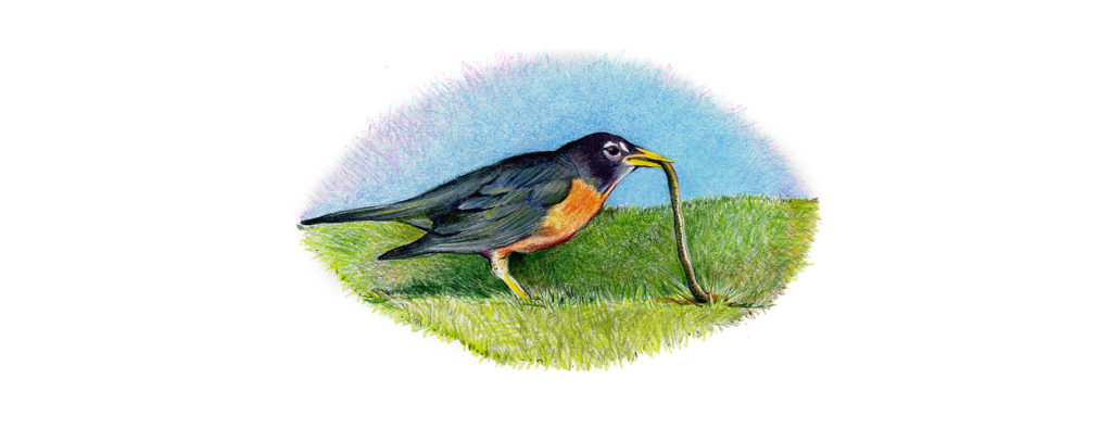 Colored pencil drawing of a robin eating a worm